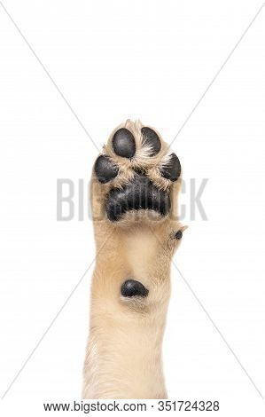Golden Retriever Puppy Paw Isolated On White Background. Flat Lay Copy Space
