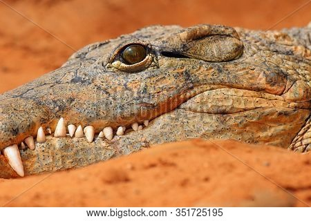 The Nile Crocodile (crocodylus Niloticus) , Detail Of The Head.