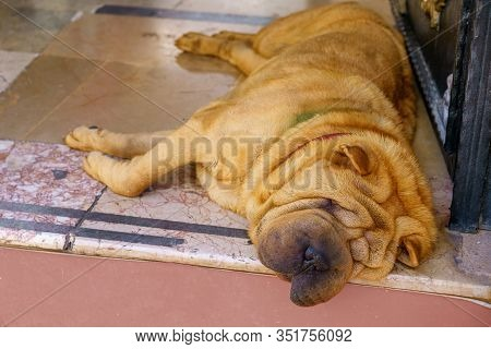 A Large Dog Of The Shar Pei Breed Is Lying On The Road And Sleeping