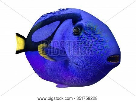 3D Rendering Blue Tang Fish On White