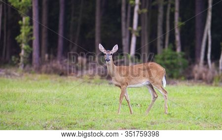 Whitetail Doe On A Grassy Field Near Raeford North Carolina