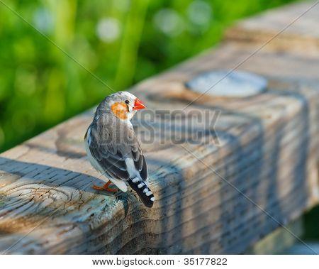 Watchful Zebra Finch