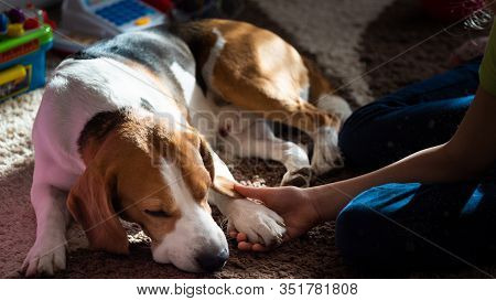 Beagle Dog Tired Sleeps On A Carpet Floor, Child Grabbing Dogs Paw. Family Dog Background