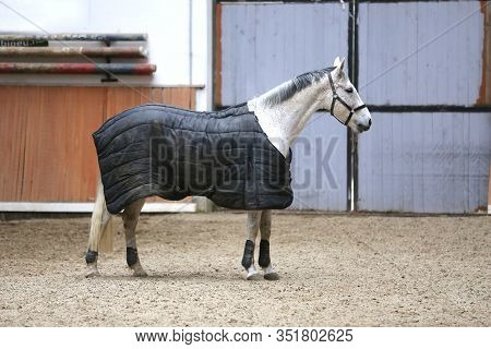 Grey Colored Purebred Saddle Horse Waiting For Riders Under Blanket In Empty Riding Hall. Racehorse