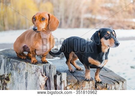 Two Cute Dachshund Dogs Outdoors. Portrait Of Lovely Dogs At A Park In Cold Winter Season