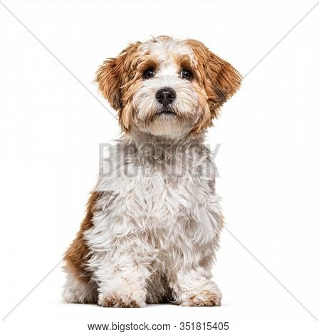 Sitting Puppy Havanese dog staring, 5 months old, isolated on white