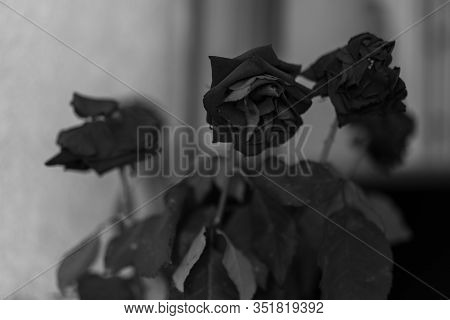Withered Roses Black White Photo.withered Roses Black White Photo