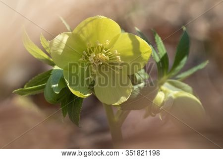 Toxic Green Spring Flower Hellebores  Helleborus Odorus
