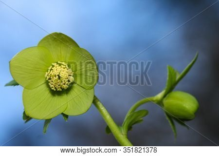 Green  Flower Hellebores,  Helleborus Odorus, Over Blue Sky