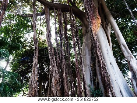 Ficus Macrophylla Columnaris The Giant Fig Tree With Air Roots