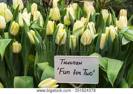 Tulipa Of The Fun For Two  Species In A Greenhouse. Translation Of The Word On Nameplate: