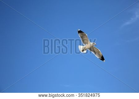 Seagull. Seagull flying. A sea gull flies in the air with a blue sky background. Nature and Animals live in the world. Calm and Serene photo of a flying bird to calm and make your day nice.