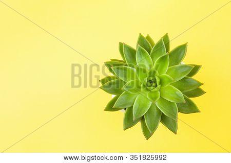Trendy Succulent Haworthia Cymbiformis Closeup On Yellow Background, Copy Space, Flatly. For Social