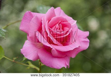 Being In Full Bloom. Garden Rose In Blossom. Rosy Rose Flowering On Shrub In Summer. Rose Flower Blo