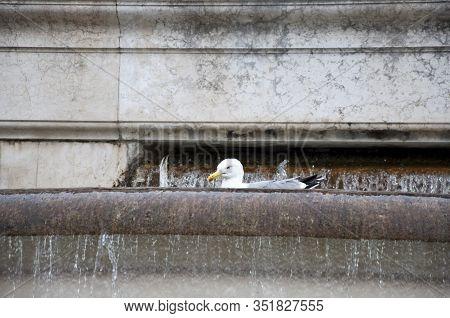 This Is Beautiful. Gull Bird In Monumental Fountain. Sea Gull Bathing In Ancient Fountain. Seagulls