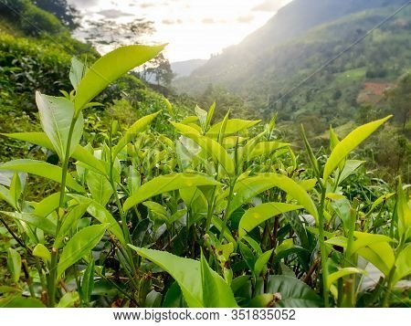 Closeup Image Of Young Green Tea Leaves Growing On Bushes At Tea Plantation