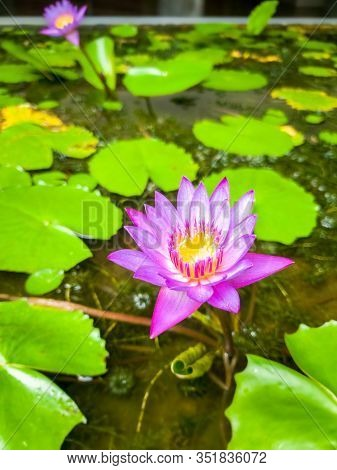 Beautiful Photo Of Violet Waterlilies Growing In Small Pond At Garden