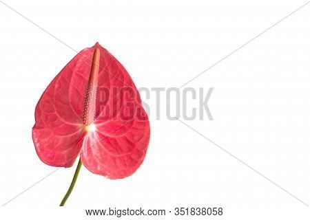 Isolated Pink Anthurium Flower On A White Background. Layout For Design, Copy Space. Tropical Flower