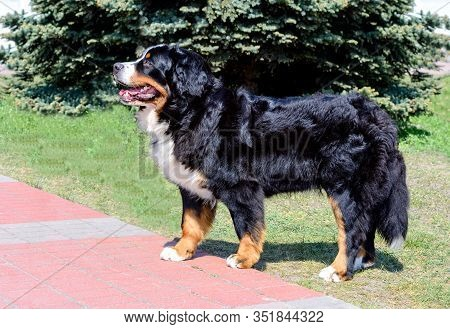 Bernese Mountain Dog In Profile. The Bernese Mountain Dog Is In The City Park.