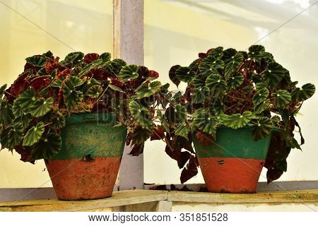Rex Begonia, Also Known As The Painted Leaf Begonia Or Fancy Leaf Begonia, Comes From Assam, In Indi