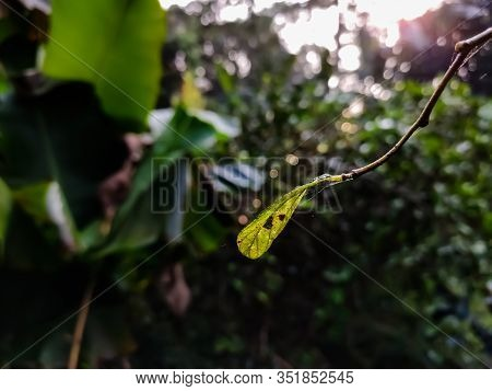 This Is The Leaf Of Ziziphus Mauritiana, Also Known As Chinese Date, Ber, Chinee Apple, Indian Plum,