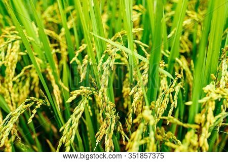 Rice Field, Green Rice Sprouts In The Meadow. Young Green Rice. Farmland. Rice Close Up.