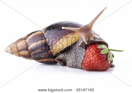 land snail eating strawberries