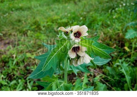Henbane Black ( Lat. Hyoscýamus Níger) Poisonous Plant.