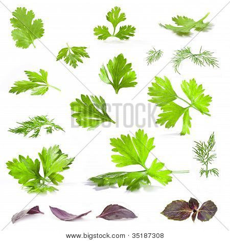 Coriander, parsley, dill and basil