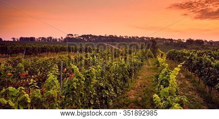 Beautiful Panoramic View Of The Vineyard At Sunrise