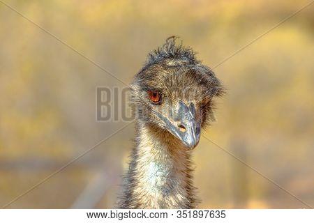 Front View Of Details Of Emu, Dromaius Novaehollandiae, Cultural Icon Of Australia. The Bird Feature