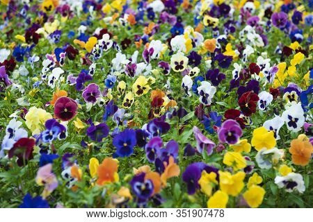 Group Violet Perennial Multi-colored, Purple, Pink, White And Yellow Viola Grow On Big Field. Known
