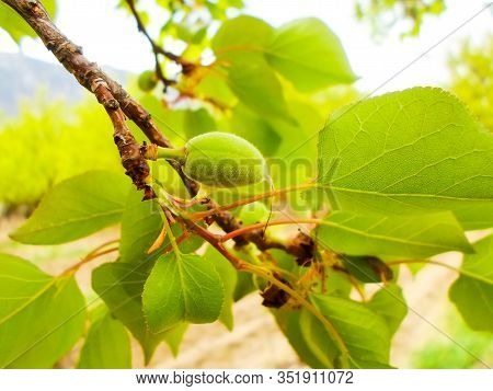 Apricot Tree With Green Little Apricots, Green Leaves Close-up. Leaves Bloom In Spring On A Tree.