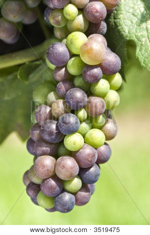 Ripening Pinot Noir Grapes