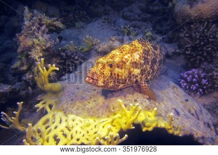 The Greasy Grouper (epinephelus Tauvina), Also Known As The Arabian Grouper Lies On The Coral. Big G