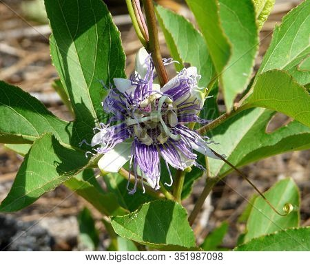 Wild Purple Passionflower Vine Closeup