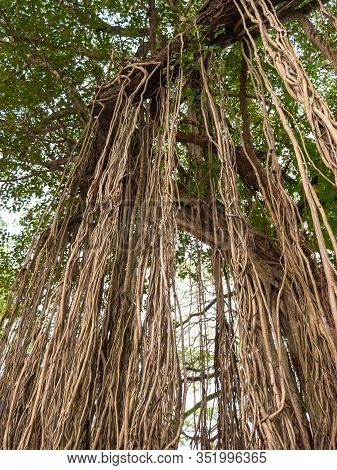 Beautiful Image Of Roots And Vines Hanging Down From The Banyan Tree