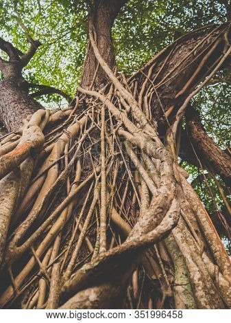 Closeup Toned Photo Of Vines Weaving Old Tree In Tropical Rainforest