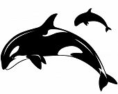 killer whale vector illustration - black and white outline and silhouette poster