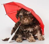 Puppy with umbrellas in studio on a neutral background poster