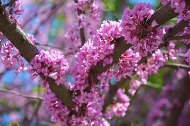 Purple Flowers Blooming In Spring On A Tree Purple On A Sunny Day