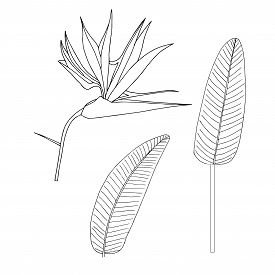 Strelitzia Flower, Leaves Plant Set. Art Design Element Hand Drawn Ink Monochrome Sketch Stock Vecto