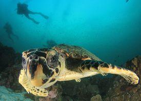 Hawksbill Sea Turtle and scuba divers