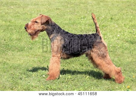 The portrait of the typical Welsh Terrier poster