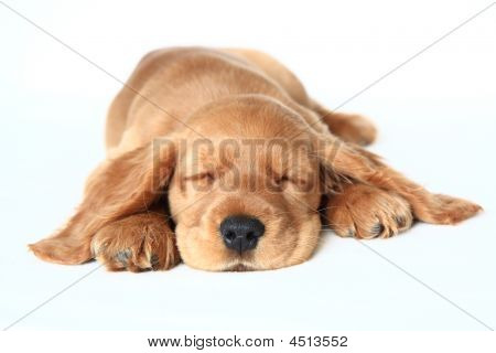 English Cocker Spaniel puppy in front of a white background poster