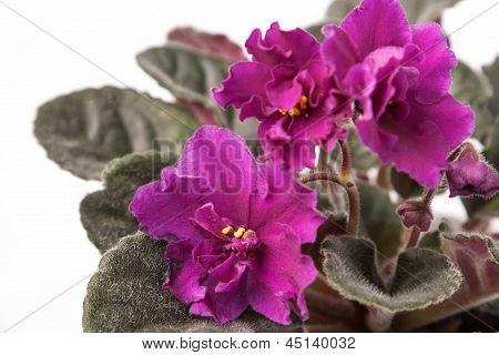 Indoor Herb - Violet Flowers Of Viola