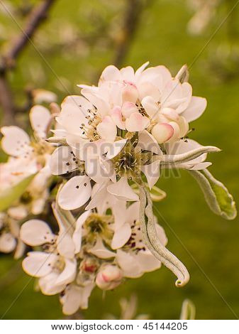 Snow Pear, Pyrus Nivalis, Blossoms