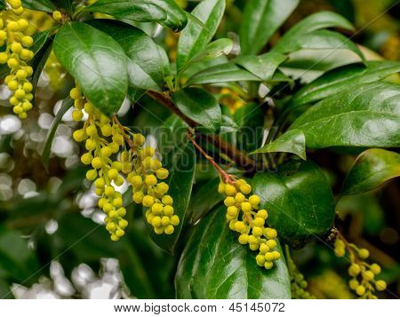 Berberis Valdiviana Plant