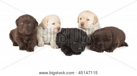 poster of Five Chocolate Yellow and Black Labrador Retriever Puppies (4 week old isolated on white background)
