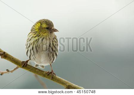 Bird Female Siskin (carduelis Spinus)